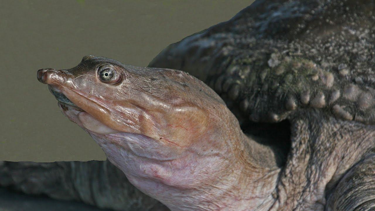 Softshell Turtle Iucn That You Can Take Advantage